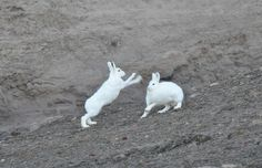 Arctic Hares generally live alone, but on occasion they do group together by the dozens or even hundreds, huddling up together for warmth. This picture of two Arctic Hares is taken in Northeast Greenland. Arctic Hare, Wildlife, Pictures, Animals, Group, Live, Image, Photos, Animaux