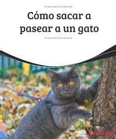 Cómo sacar a pasear a un gato Conoce los temas que debes considerar si quieres sacar a pasear a un gato. El primero de ellos es que un minino no es un perro. #pasear #temas #consejos #minino