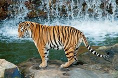 Amur Tiger At The Water-Fall | by saxman1597