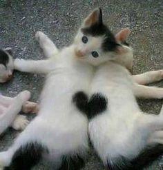 Heart Cats #cats #gatos #gatitos