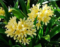 GardensOnline: Clivia miniata Yellow