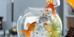 Important #healthy,#caring and #protection Tips For Your Goldfish!  #petcaretips #petfishtips