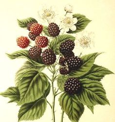 I really really want a botanical blackberry tattoo, they remind me of my childhood and they are such beautiful plants.
