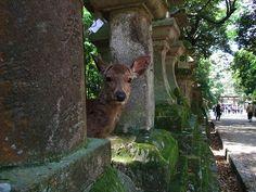 Dangerous Deer of Nara - Japan Talk