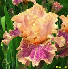 TB Iris germanica 'Unveiling a Scarf' (Jedlicka, 2009)