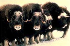 Voir vidéo >>> Le bœuf musqué : emblème de l'Arctique! http://www.humanosphere.info/2016/01/voir-video-le-boeuf-musque-embleme-de-larctique/ via @humanosphere