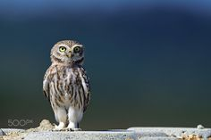 Owly - The Geek — zenontheseas:   Little Owl by ysbae491
