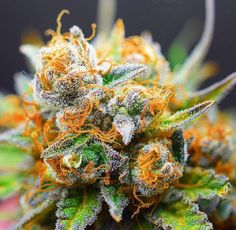 Beautiful Buds  #cannabis #weed