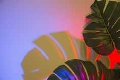 Two monstera leaves with shadow on colored backdrop Wallpaper Notebook, Wallpaper Wa, Cute Desktop Wallpaper, Frozen Wallpaper, Plant Wallpaper, Macbook Wallpaper, Aesthetic Desktop Wallpaper, Computer Wallpaper, Hd Wallpapers For Mac