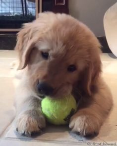 puppies golden retriever baby so cute / puppies golden retriever baby Cute Baby Puppies, Super Cute Puppies, Tiny Puppies, Cute Little Animals, Cute Funny Animals, Perro Labrador Golden, Labrador Puppies, Retriever Puppies, Chien Golden Retriever