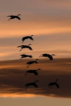 Sandhill Cranes..must see them migrating south..stopping in Indiana mid Oct. -Nov...It's quite incredible!