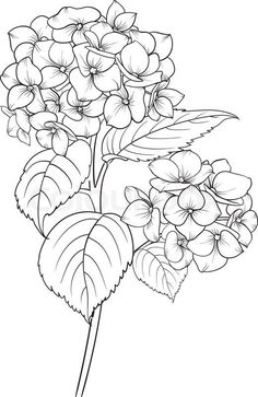 Blooming flower hydrangea on white background. Mop head hydrangea flower isolated against white . Flower Line Drawings, Flower Sketches, Art Drawings, Drawing Flowers, Flowers To Draw, Flower Drawing Tutorials, Painting Tutorials, Tattoo Drawings, Fabric Painting