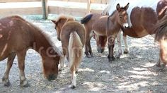 Video about Pony with cubs at shade in paddock. Video of horse, outdoor, colt - 77397836 Cubs, Pony, Horses, Animals, Image, Pony Horse, Animales, Bear Cubs, Animaux