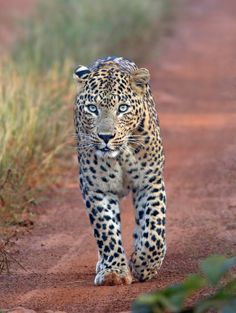 Leopard at Tadoba