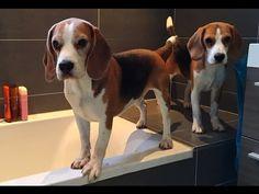 Louie The Beagle - YouTube