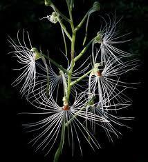 Habenaria medusae 'Egret Orchid'