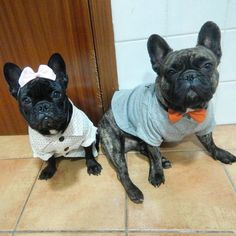 All dressed up for @renee_frenchie #reneefirstbirthday pawty happy birthday…