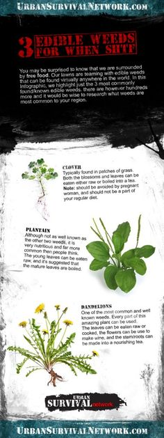 3 Edible Weeds Every Prepper Should Know for When SHTF | Urban Survival Network