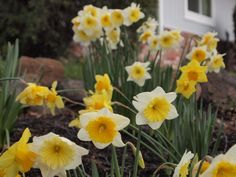 Paulette Avery of Moraga has oodles of daffodils.
