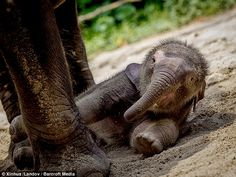 Finding her feet: At 17 days old the cute elephant calf struggles to stand to greet the crowds atChimelong Safari Park