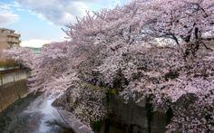 花筏 hanaikada Cherry Blossoms, Tokyo, Japan, Outdoor, Outdoors, Tokyo Japan, Okinawa Japan, Cherry Blossom, Japanese Cherry Blossoms