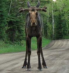 In Finland, moose are found throughout the country apart from the fell regions. It is not shy of humans and can live very close to habitation.