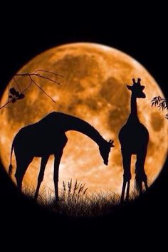 Giraffes at full moon