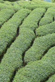 Darjeeling (India) Tea Gardens....