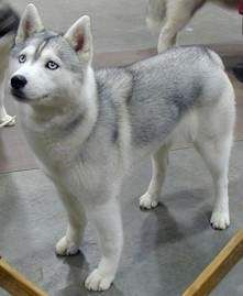 Colors of the Siberian Husky - Silver Siberian Husky Page