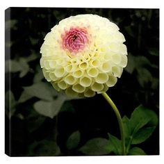 Photographic canvas print of a pompon dahlia by artist Harold Silverman.  Product: Wall artConstruction Material: Cot...