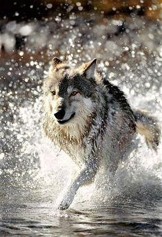 Wolf Running #wolfpack
