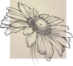 Find Vector Chamomile Flower Isolated stock images in HD and millions of other royalty-free stock photos, illustrations and vectors in the Shutterstock collection. Daisy Flower Drawing, Floral Drawing, Tatto Floral, Botanical Illustration, Illustration Art, Art Sketches, Art Drawings, Let's Make Art, Drawing Tutorials For Beginners