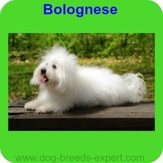 Bolognese, A calm dog breed Calm Dog Breeds, Bolognese, Dogs, Nature, Animals, Naturaleza, Animales, Animaux, Pet Dogs