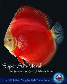 Discus Aquarium, Discus Fish, Freshwater Aquarium Fish, Colorful Fish, Tropical Fish, Angelfish, Water Life, Beautiful Fish, Cichlids