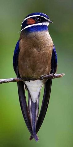 Whiskered treeswift via Paradise of Birds on Facebook