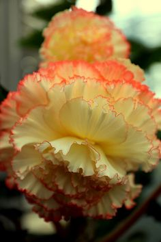 Yellow Begonia/ATTRACTS: Hummingbirds.