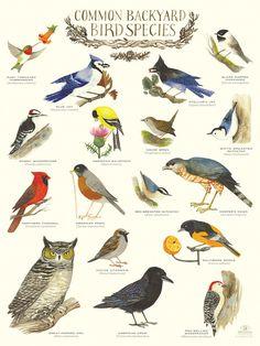 """Common Backyard Bird Species"" Infographic Poster by Diana Sudyka"