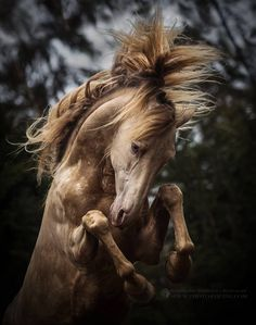 PRE stallion -- looks like a champagne. Equine Photography by Katarzyna Okrzesik-Mikołajek