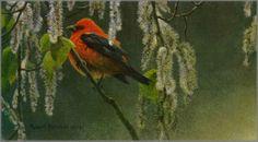 Robert Bateman - Scarlet Tanager and Alder Blossoms