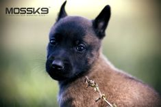 Belgian Malinois Puppy - Moss K9 #cute #baby #animals #puppy