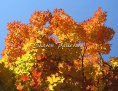 Photograph of maple leaves in the autumn. Artwork by Sharon Patterson may be PURCHASED at: http://1-sharon-patterson.fineartamerica.com