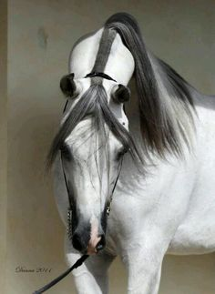 Arabian horse with them most amazing graceful neck and pretty grey and white coloring.