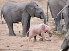 "Rare baby albino baby elephant spotted in herd in South Africa."" Read the whole story here: https://www.facebook.com/copal.org/posts/1164813686864251"