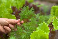 Čerstvý kôpor je veľmi obľúbená kuchynská bylina, nielen v našich končinách. Poznáme ho najmä ako nevyhnutnú prísadu do niektorých omáčok, marinád, na ryby či mäso. Je vysoko aromatický a ľahko sa pestuje. Tzatziki, Korn, Parsley, Herbs, Herb, Medicinal Plants