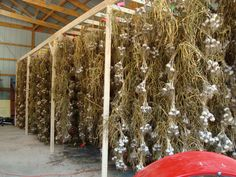 15,000 bulbs of garlic drying in 2011 in a clean shed with no critter access.  Who wants to eat bird poo?