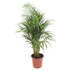 B&Q Green Palm Tree In Plant Pot: Image 1