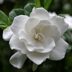 Gardenias are the quintessential southern shrub, gracing yards with their creamy white flowers and glossy dark green leaves. Be sure and grow enough gardenias as houseplants or in the garden to provide cut flowers or materials for a corsage. Exotic Flowers, White Flowers, Beautiful Flowers, White Roses, Simply Beautiful, Yellow Flowers, Absolutely Gorgeous, Evergreen Shrubs, Flowering Shrubs