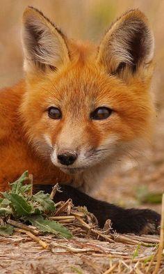 Red Fox. Le Renard Roux ( Vulpes vulpes) a les sens à fleur de peau. Son ouïe fort développée lui permet de détecter les mouvements sous le sol ; et grâce à son odorat très aiguisé, il sait où creuser pour trouver sa proie.