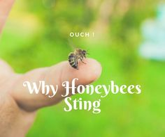 Why do bees sting? Are you always in danger of getting stung by every bee? Most bees sting for defense not attack. Learn how to avoid stings.