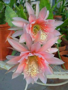 cactus flower, gorgeous color!                                                                        The one I had was snow white , had an awesome fragrance.